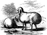 Sheep from the Steppes of the Caspian